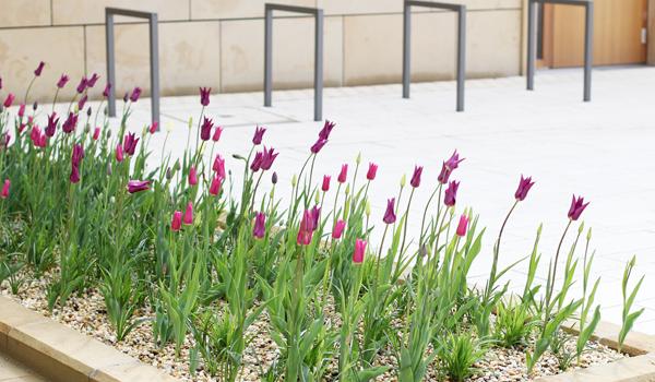 Tulpen und Anlehnbügel